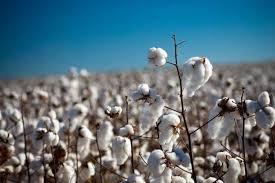Cultivo del algodón