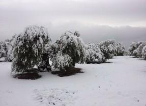 Ampliado hasta el 21 de diciembre el plazo para contratar el seguro de olivar