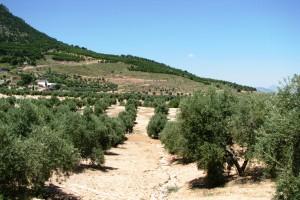 olivar en el chantre
