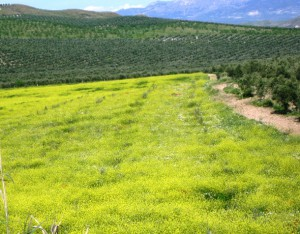 olivar y cereal en primavera