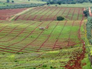 nuevas plantaciones de olivar