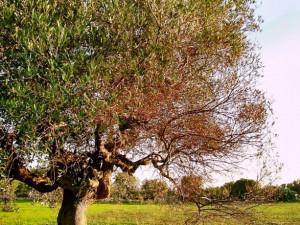 olivo afectado por xylella fastidiosa