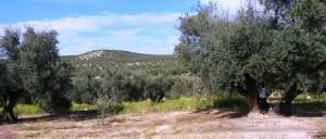 Luis en olivar jabalquinto