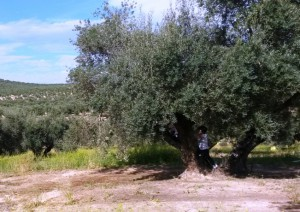 Luis en olivar de Jabalqunto