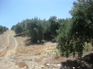 olivar para greening 2