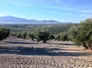 olivar para greening