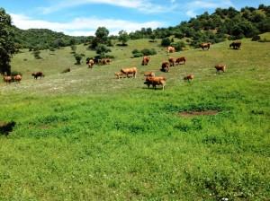 vacas retintas pastando