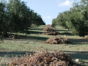 restos de poda de olivar