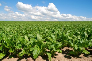 cultivo de remolacha azucarera