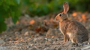 conejo en un coto de caza