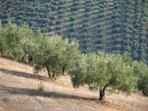 olivar en pendiente