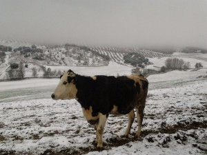 vaca de leche