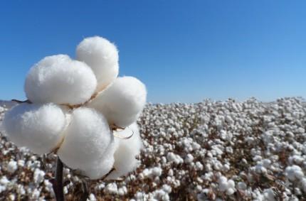 La Junta ordena el primer pago al cultivo del algodón de la campaña 2016, que supera los 49 millones de euros en ayudas