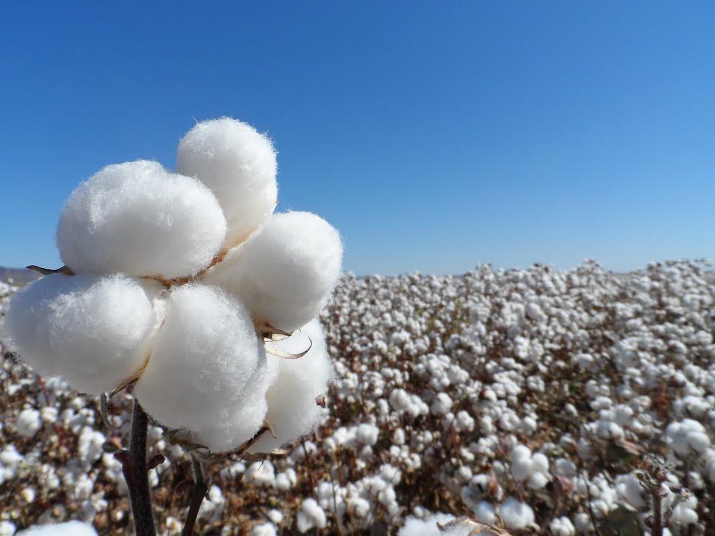 La campaña del algodón de Andalucía superará las 209.000 toneladas, un 6% más que la media de los últimos cinco años