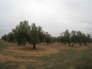 olivos olivas
