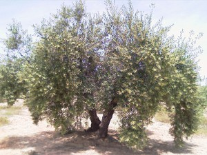 olivo cargado de aceituna