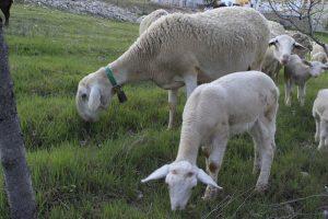 oveja segureña
