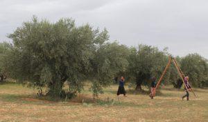 túnez olivar