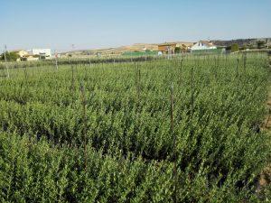 vivero-olivar
