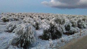 olivar nieve