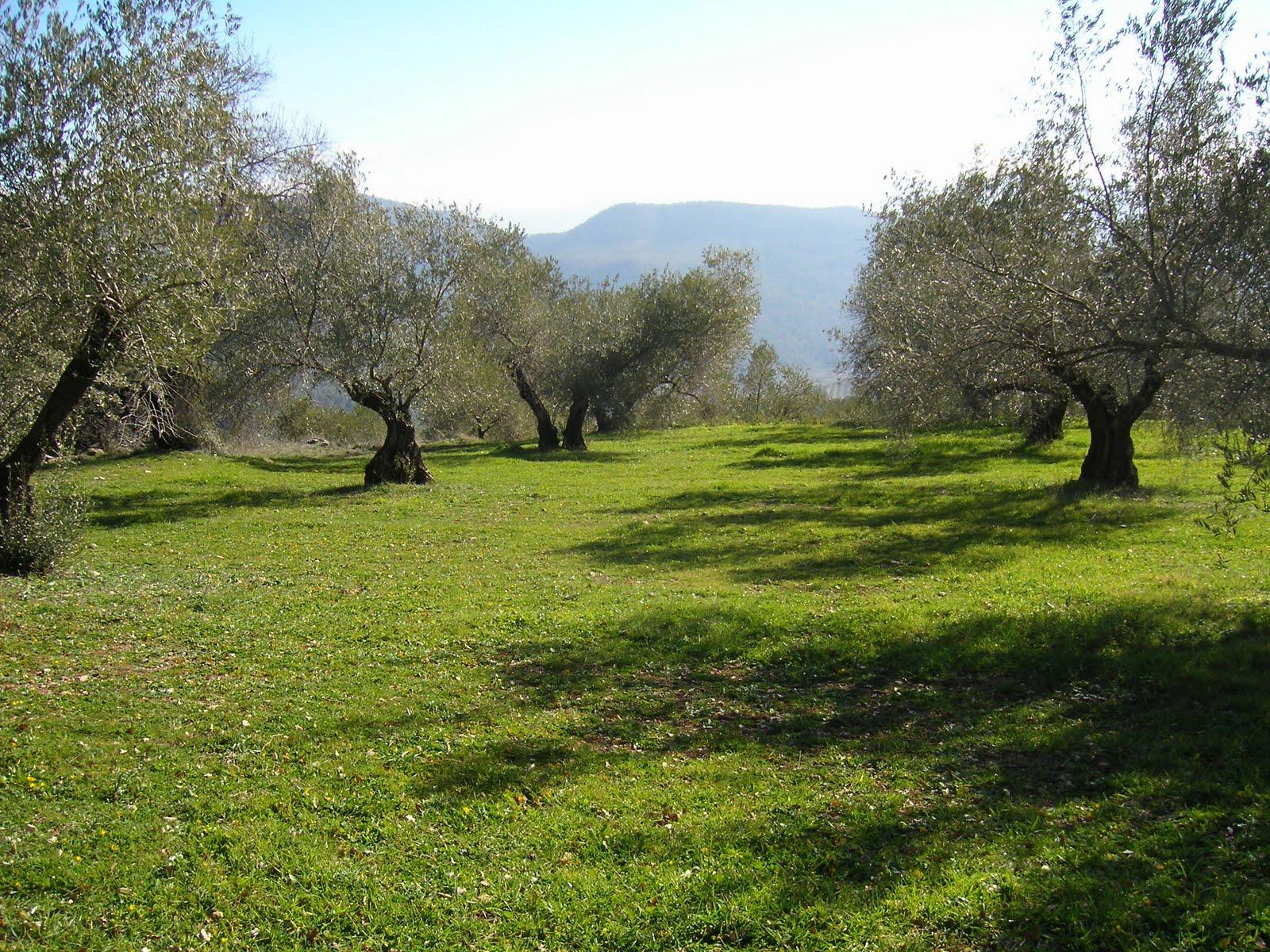 La superficie cultivada de olivar ecológico en España se elevó un 2,5% en 2018