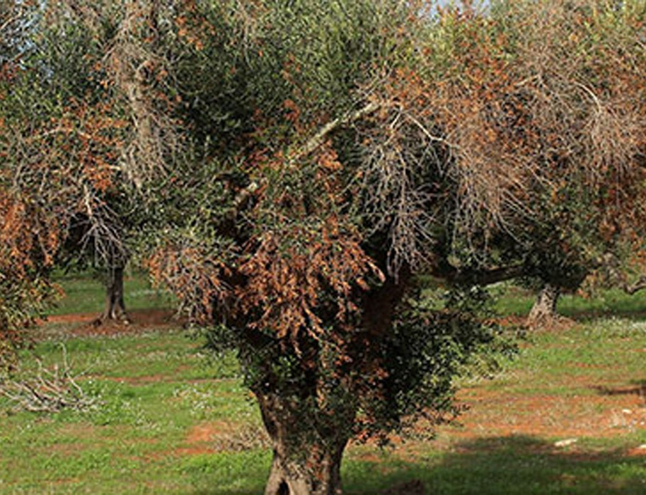 Los agricultores afectados por la Xylella tendrán indemnización