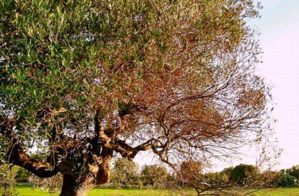 Manual de prácticas agrícolas sostenibles para reducir la incidencia de la Xylella Fastidiosa