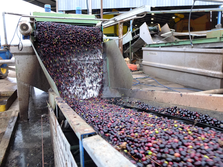 Andalucía destina 32,6 millones de euros a la industria oleícola