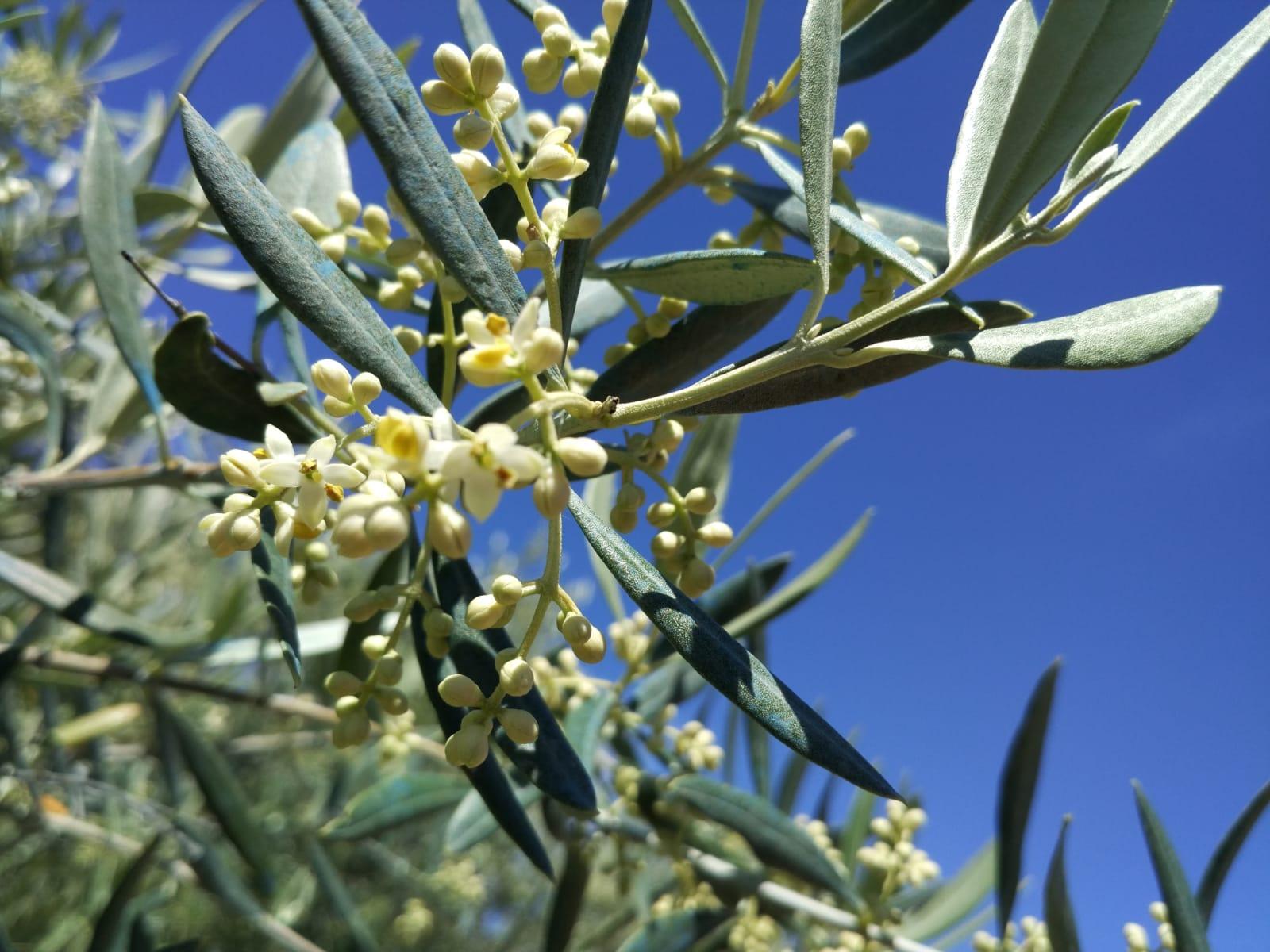 Situación fitosanitaria de la mosca del olivo en Andalucía