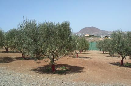 La campaña de recogida de aceituna empieza ya en agosto por la premura de los olivares canarios