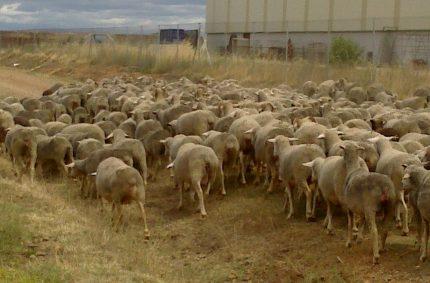 Consumir carne de ovino y caprino también ayuda a prevenir incendios