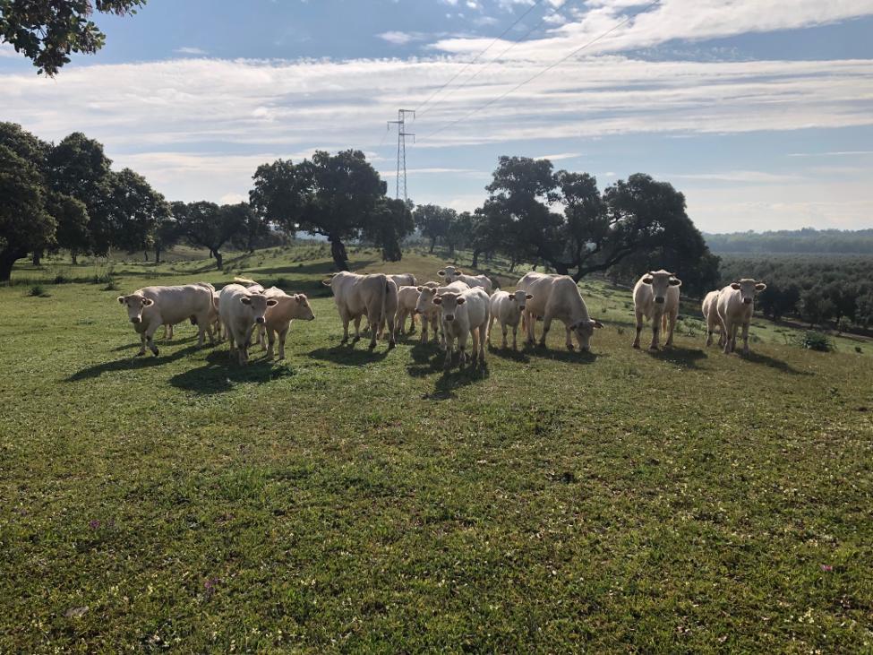 Ayudas a la ganadería para los sectores afectados por la Covid-19