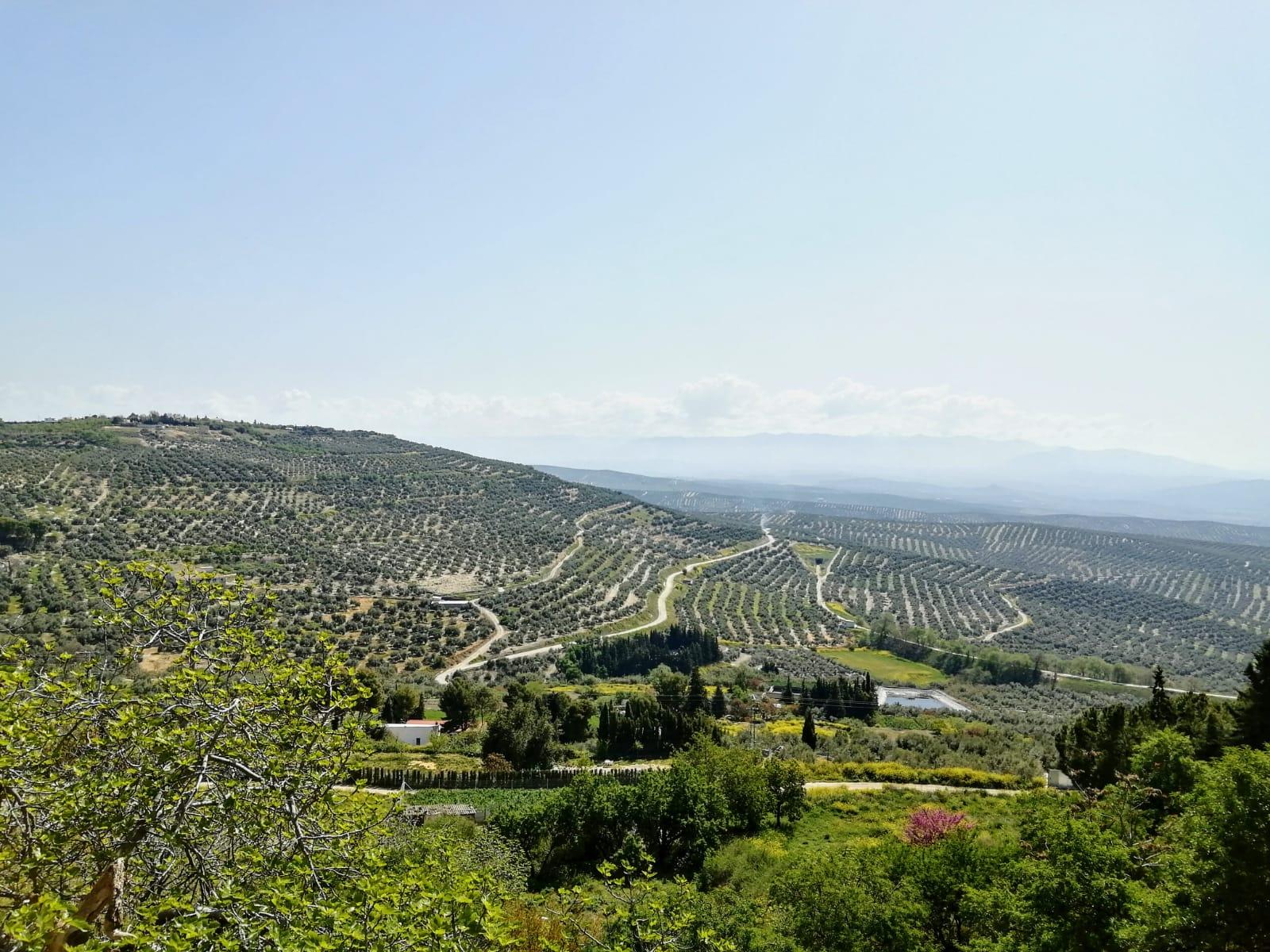 ASAJA-Jaén considera acertada la corrección del aforo, pero ve recomendable esperar a ver los rendimientos de los aceites verdes